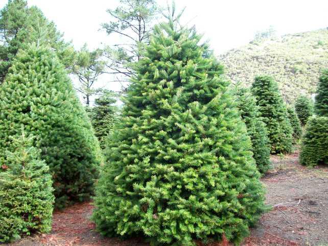 Christmas-Tree-Natural-Wallpapers-3